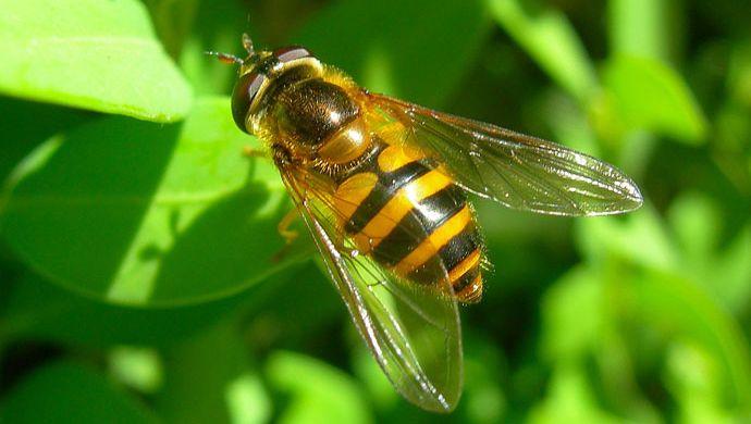 Epistrophe nitidicollis (Syrphidae)