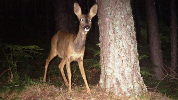 Roe deer recorded by camera trap