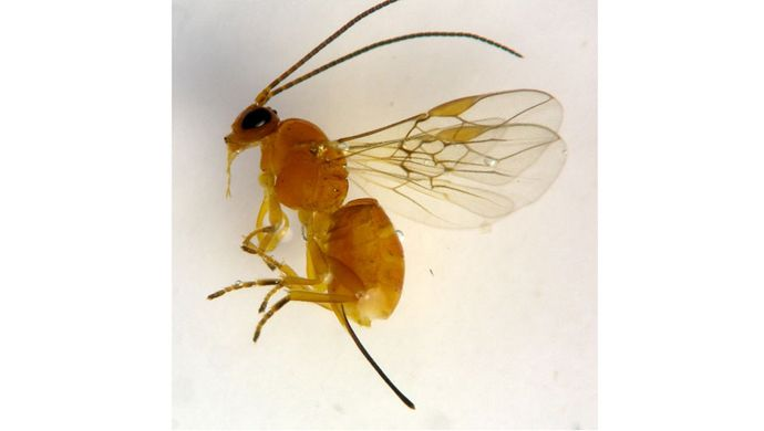 Psyttalia concolor (parasitoid of Diptera)