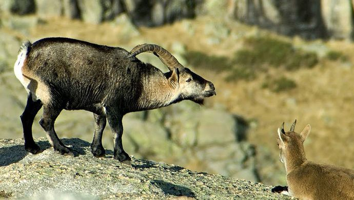 Ungulates census