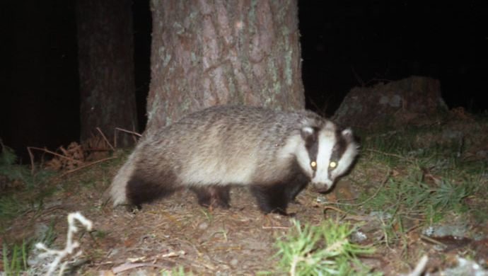 Badger recorded by camera trap