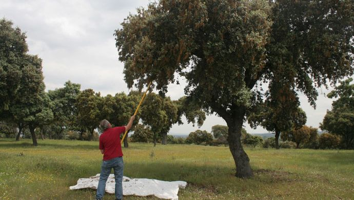 Shaking for monitoring oak defoliator insects at El Pardo