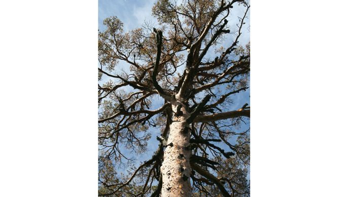 Scots pine killed by borers